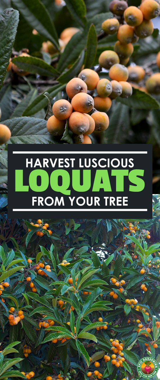 A loquat tree can provide you not only with an autumn show of flowers, but tasty fruit in late winter and early spring. Our growing guide shows you how!