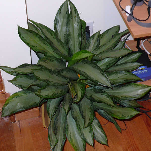 Aglaonema Emerald Bay
