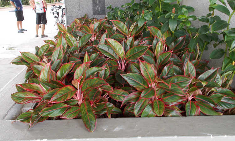 Aglaonema Plant: Chinese Evergreen Plants You Need To Grow