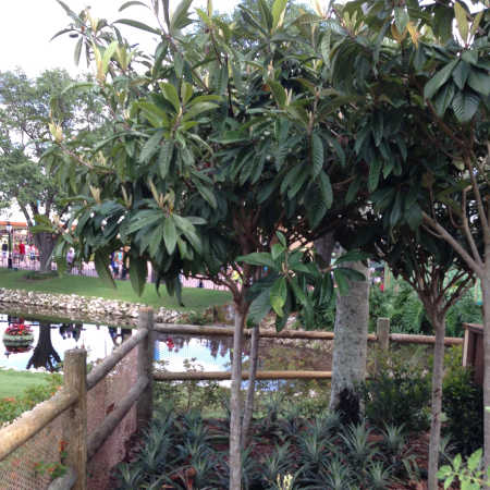 Loquat trees without fruit