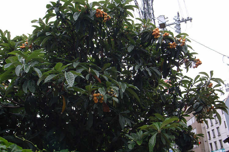 Loquat tree in the city