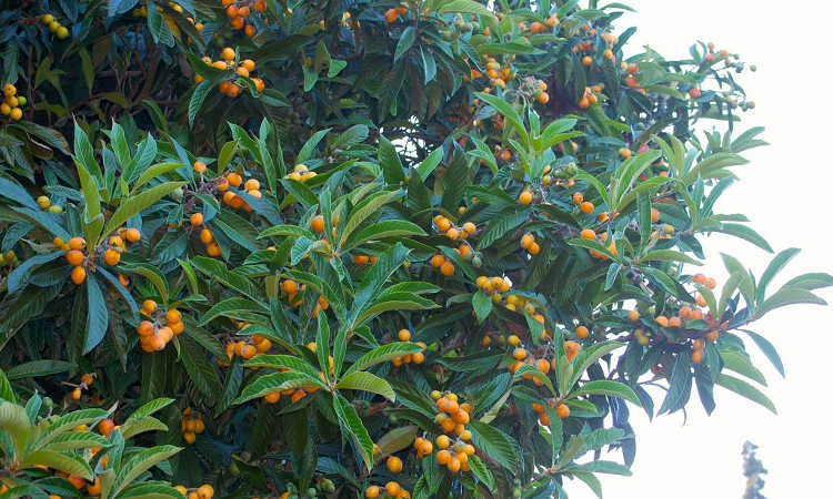 Loquat Tree: How To Grow Tiny, Tangy And Uncommon Asian Fruits