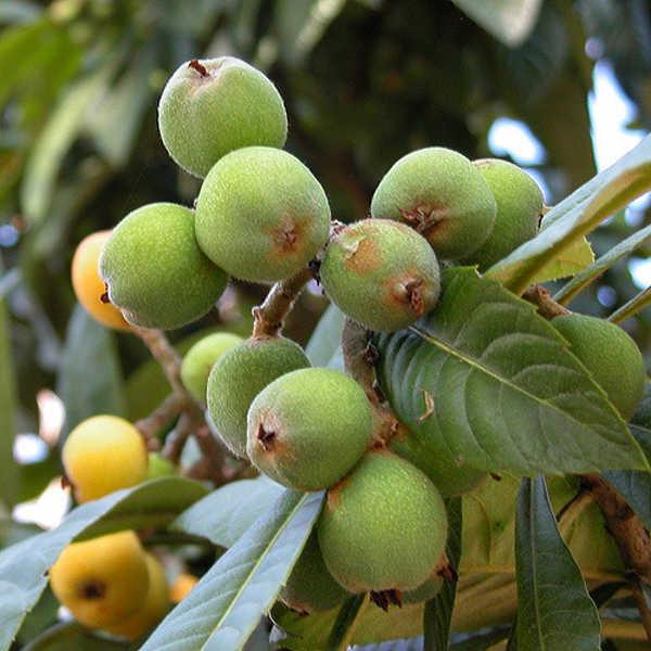 Unripe loquats