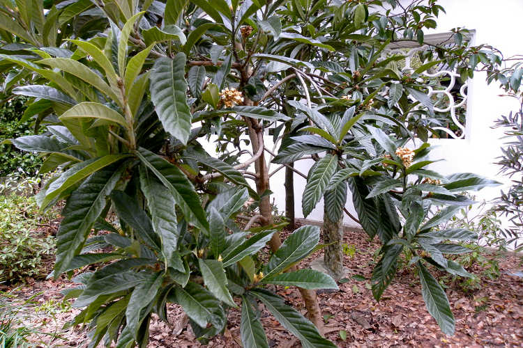 Loquat Tree Leaves Images