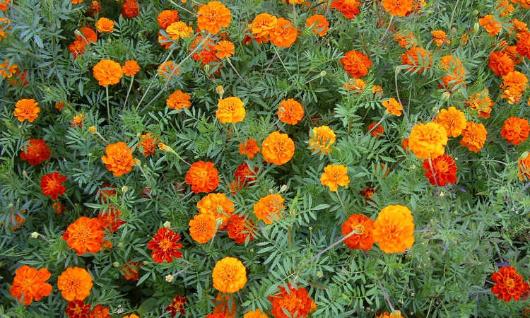 Marigolds: Pleasing, Prolific Flowers That Naturally Repel Pests