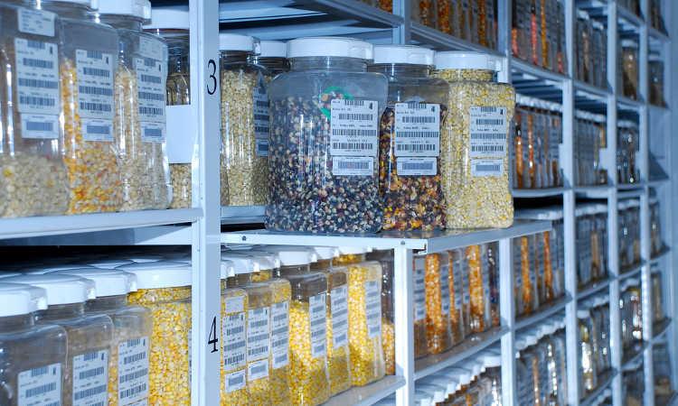 Maize seed samples at germplasm bank