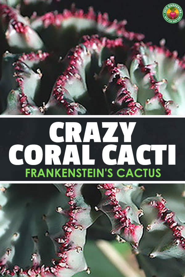 The coral cactus isn\'t a cactus or made of coral. This Frankenstein-like grafted plant is a strange, stylish succulent! Learn to grow your own here.