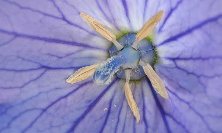 Balloon flower closeup of center