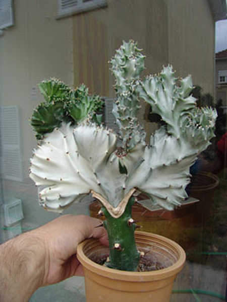 Coral cactus showing graft joint
