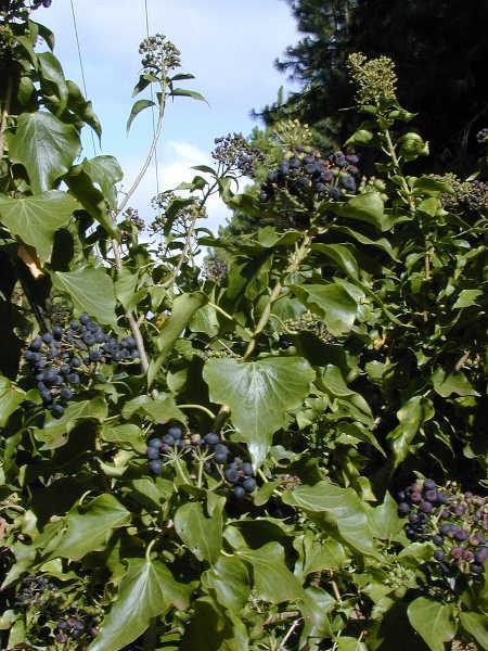 English ivy fruiting