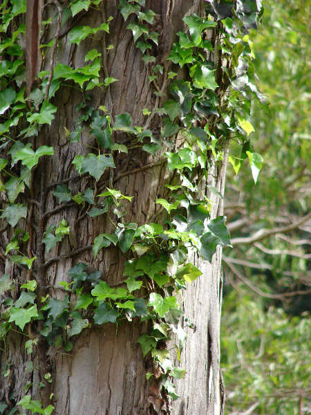 English ivy on tree