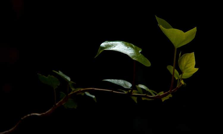 English ivy vine