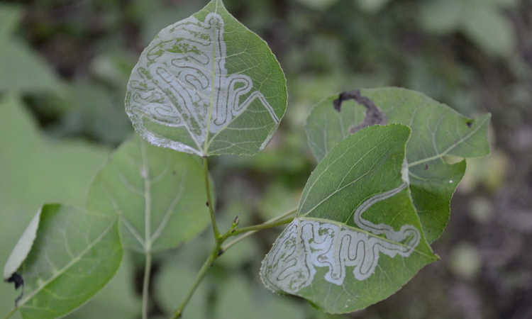 Aspen leaf miner damage