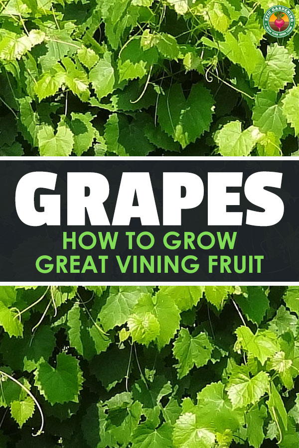 Growing grapes can be complex, but the basics are universal. Our epic grower's guide will help you start your own home vineyard!