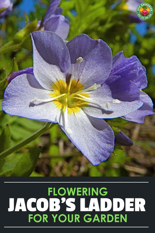 Jacob's ladder plant is an easy to grow, shade loving perennial. Learn about the best ways to care for this plant with our growing guide!