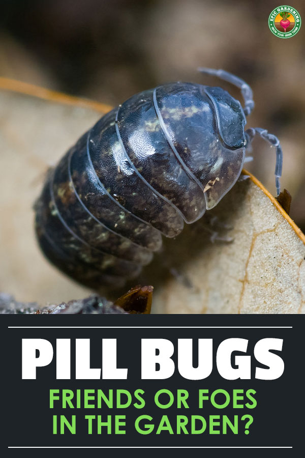 Whether you call them roly poly bugs or pill bugs, these little critters are nature's garbage disposal. But are they good guests in the yard?