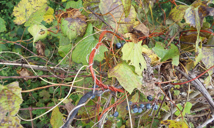 Diseased grapevine