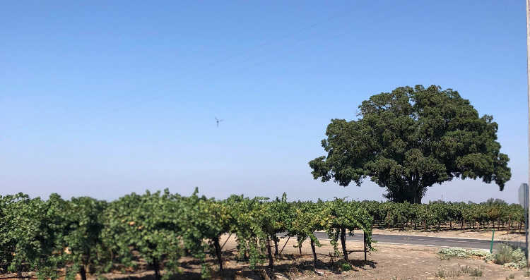 Full sun on commercial vineyard near Lodi California