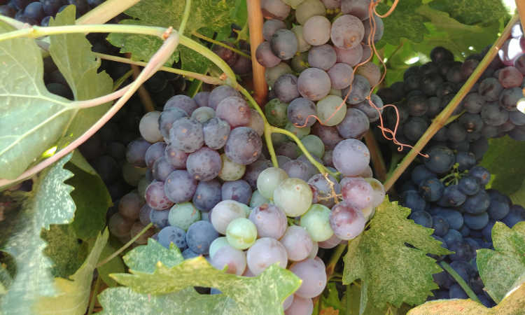 Growing grapes in stages of development at Cordi Winery