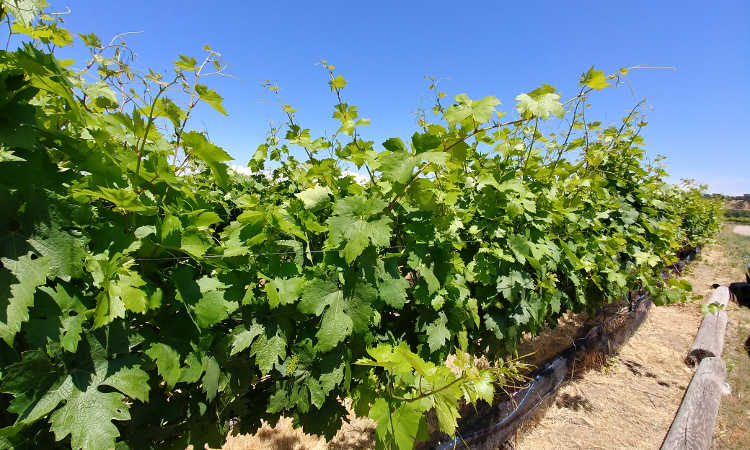 Late spring vine growth at Cordi Winery