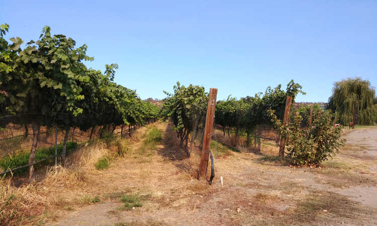 Looking down vineyard rows at Cordi Winery