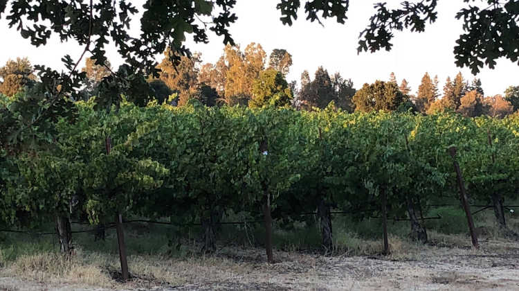 Old vines near Lodi California