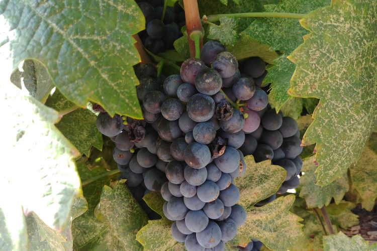 Primitivo grapes nearly ripe at Cordi Winery