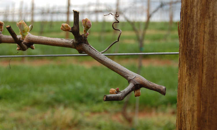 Bud break on Cabernet Franc vine