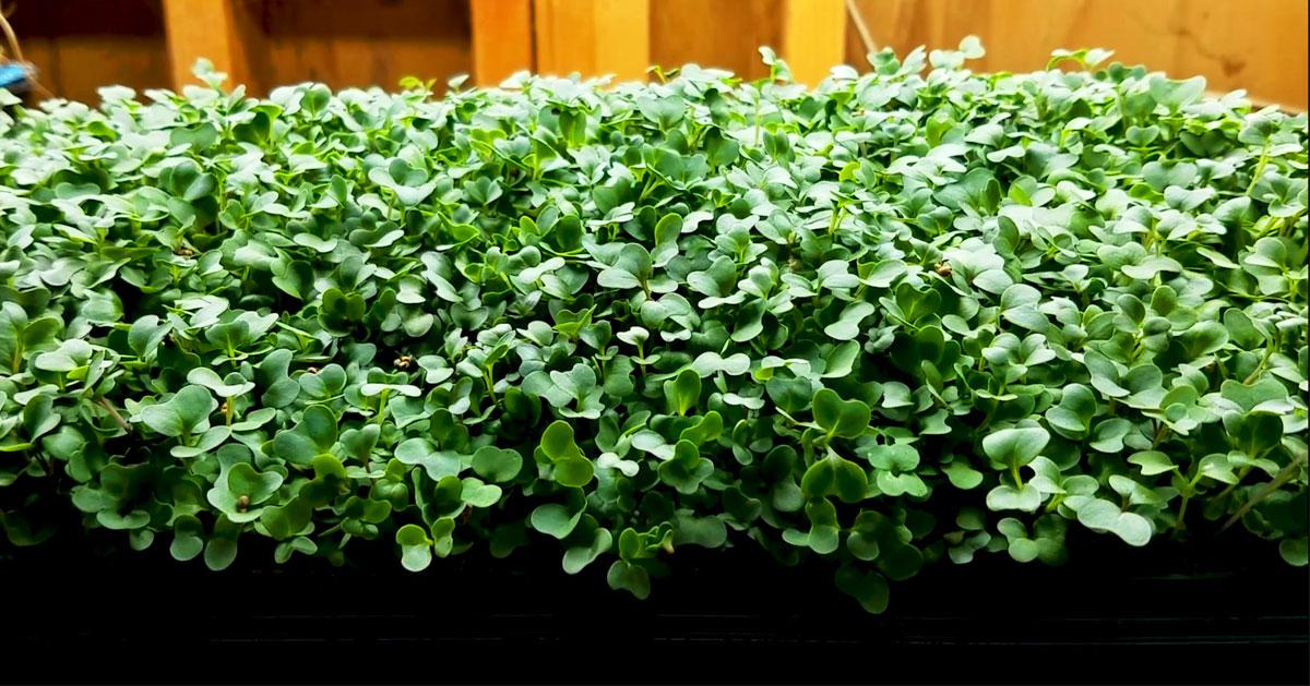 Lettuce Microgreens