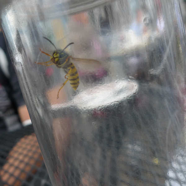 Wasp in trap