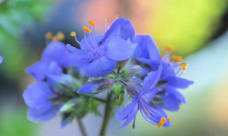 Blue jacob's ladder flower