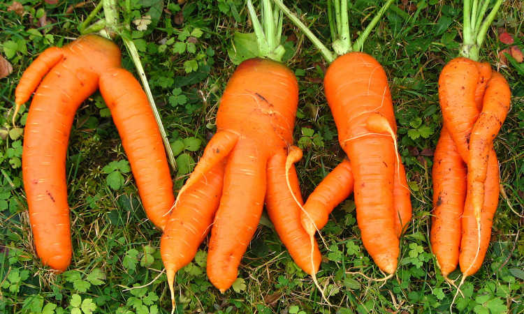 forked carrots