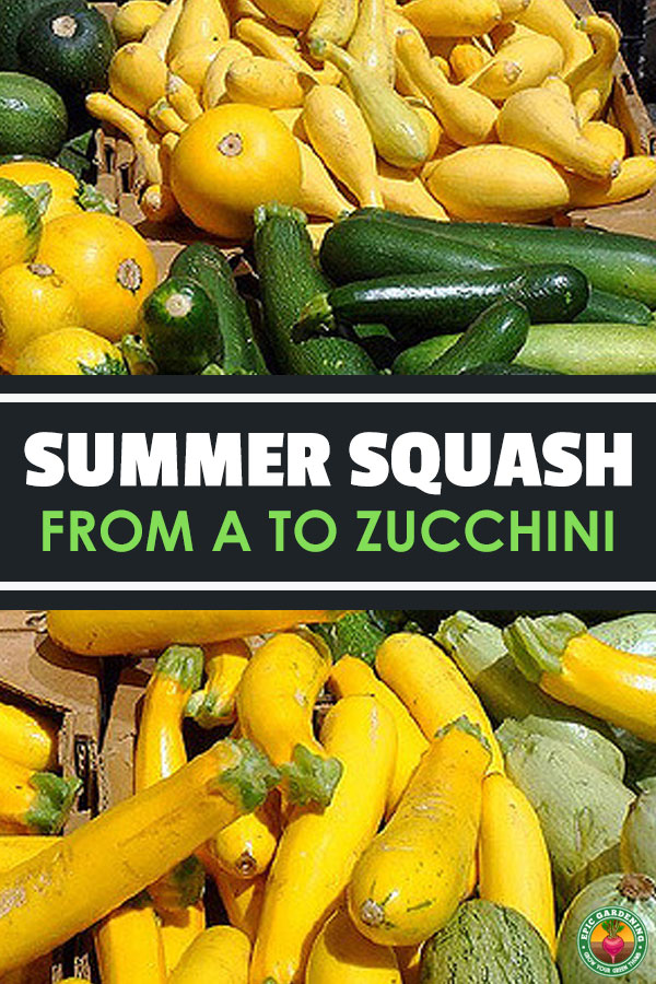 Bountiful harvests can be yours when growing summer squash! Get a list of summer squash types here & everything you need to know for growing.