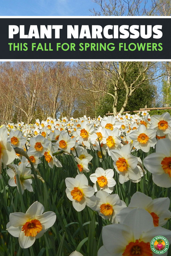 Narcissus flowers are beautiful, low maintenance plants. We\'ve shared our best daffodil care tips here and will provide a full growing guide!