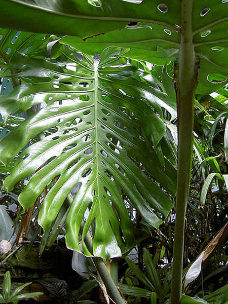 Monstera deliciosa leaf shape