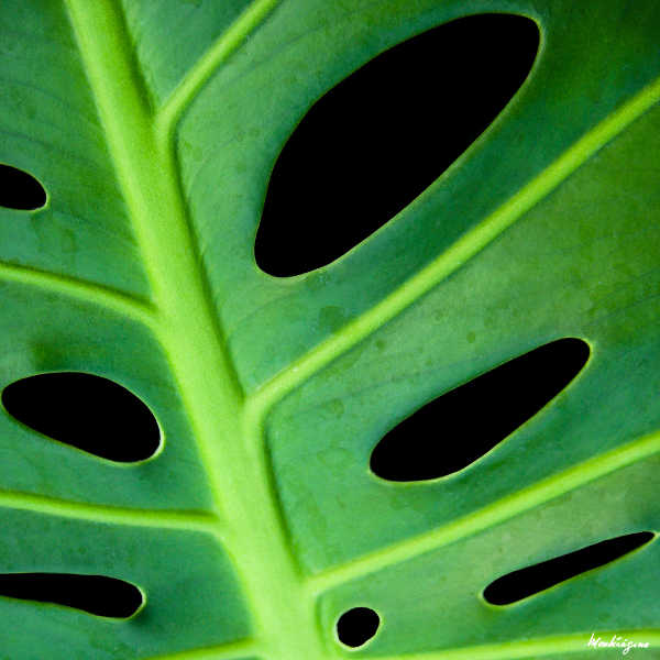 Monster plant leaf closeup