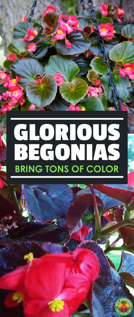With thousands of begonias to choose from, growing them seems daunting. Our complete growing guide shows you the top tips for healthy plants!