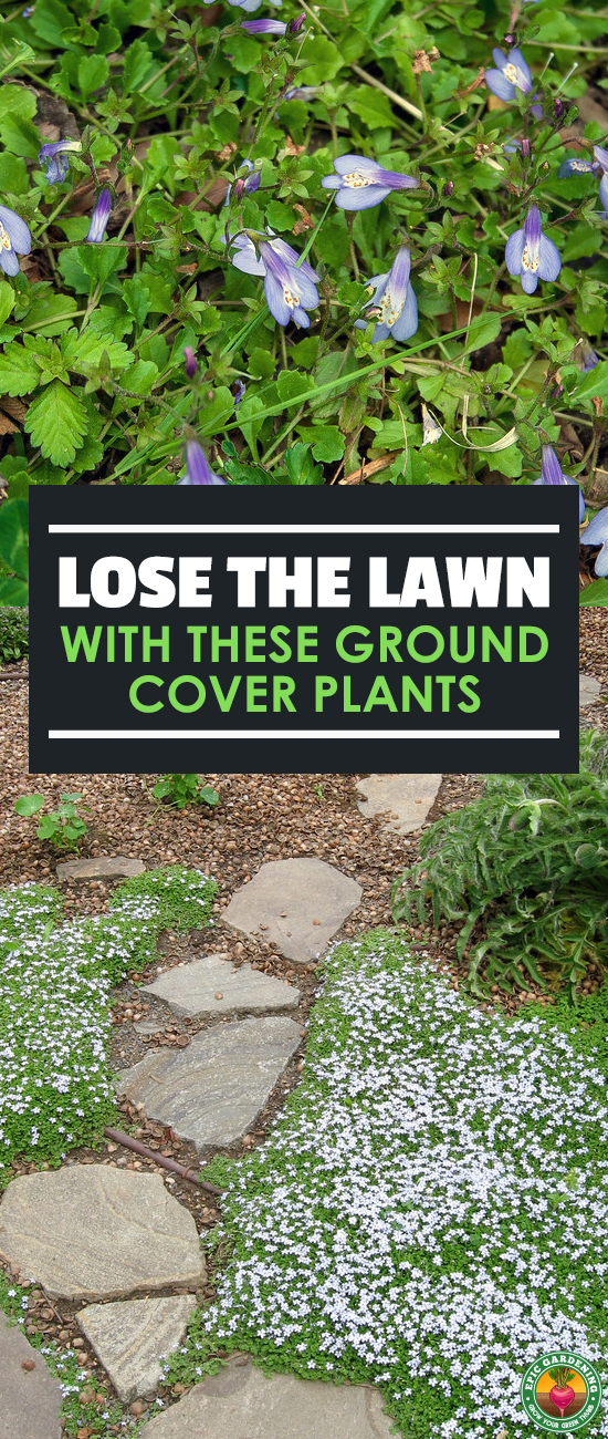 Ready to kick the grass habit? Ditch your lawn for a delightful selection of ground cover plants. Our guide shows you where to begin!