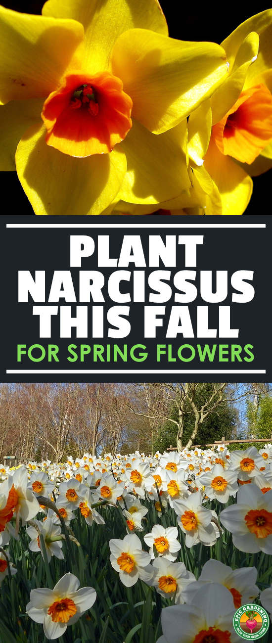 Narcissus flowers are beautiful, low maintenance plants. We've shared our best daffodil care tips here and will provide a full growing guide!