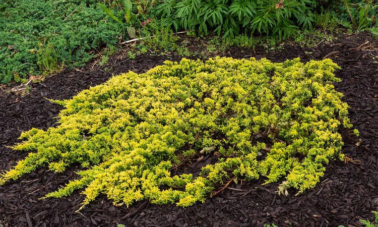 Creeping juniper, variety 'Mother Lode'