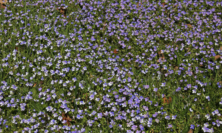 Creeping speedwell