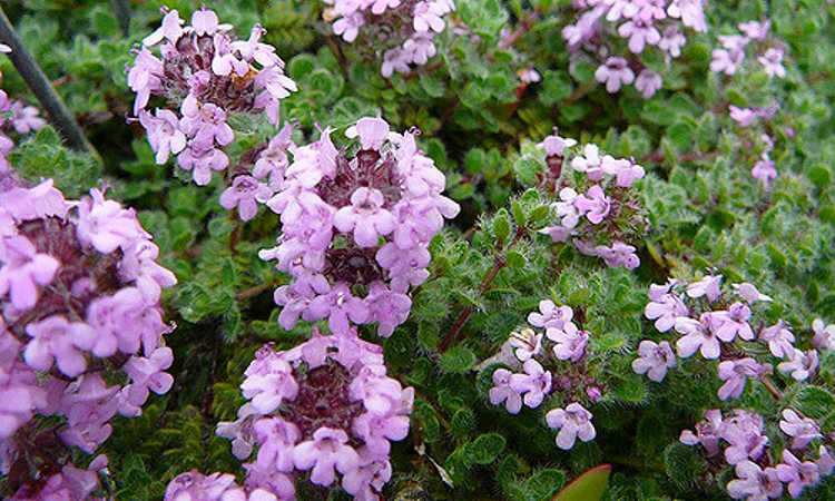 Ground cover plants as lawn replacements borders epic gardening selecting the right ground cover plants heavy flowering on wooly thyme mightylinksfo