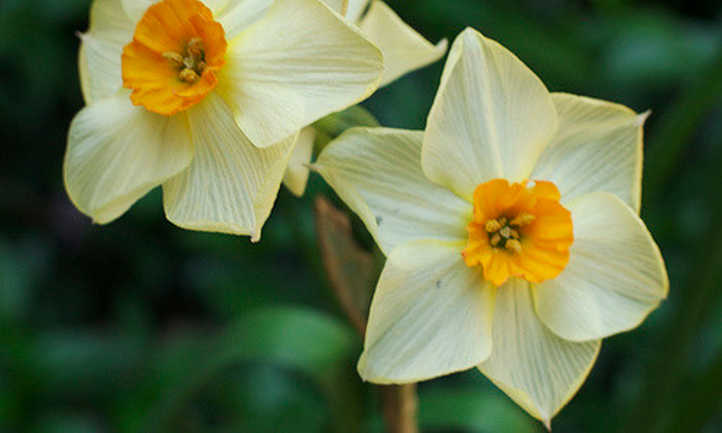 Two narcissus flowers