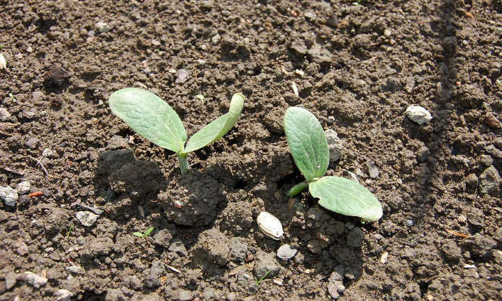 Summer squash seedling