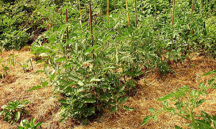 Straw mulched tomato and pepper plants