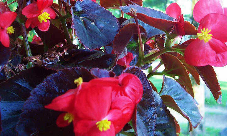Purple leaf begonias
