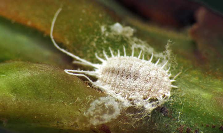 Longtailed mealybug