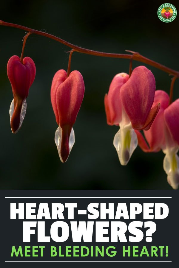 The bleeding heart flower is one of natures little treasures. Learn how to care for it, propagate it, and repot it in this in-depth plant guide.
