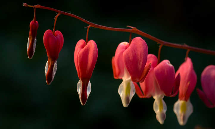 Red bleeding hearts