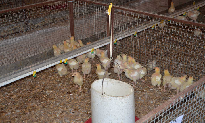 Chicks in pen